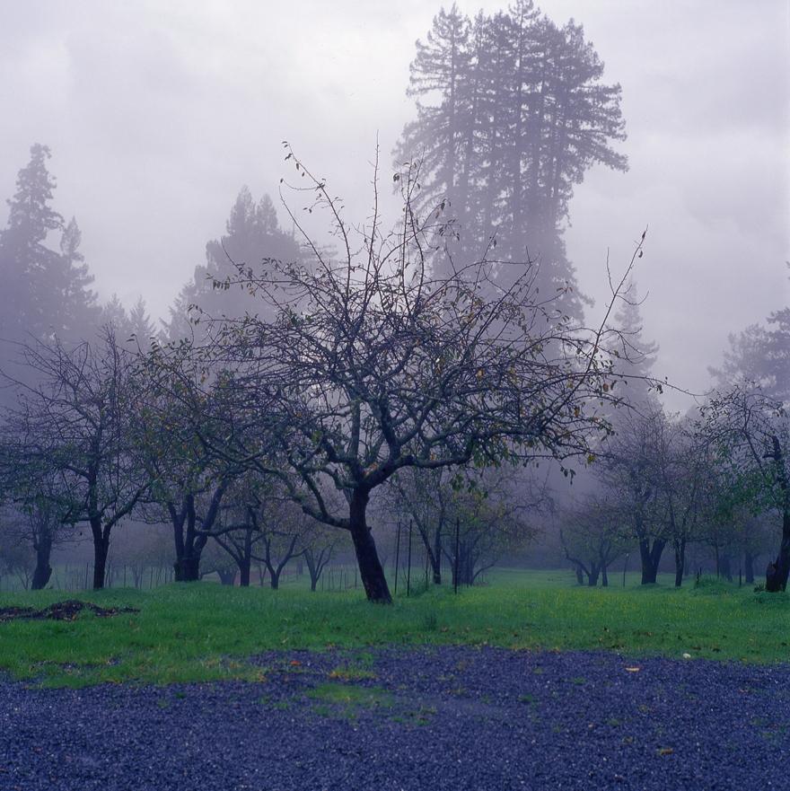 cotati-orchard_7
